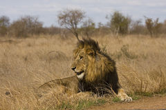 Wild male lion lying down in the bush, Kruger, South Africa Stock Image