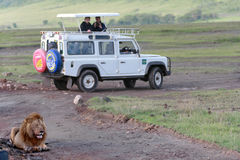 Wild male lion resting near a jeep with tourists. Stock Photo