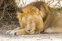 Wild male lion sleeping in savannah,  in Kruger park Royalty Free Stock Image