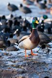 Wild male Mallard duck over coots. Wild male Mallard duck over coots Royalty Free Stock Photos