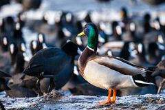 Wild male Mallard duck over coots. Stock Image