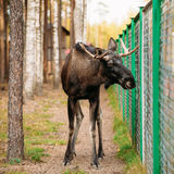 Wild male moose, elk in cage forest reserve Royalty Free Stock Image