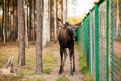 Wild male moose, elk in cage forest reserve. Royalty Free Stock Images