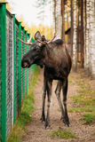 Wild male moose, elk in cage forest reserve. The moose or elk, Alces alces, is the largest extant species in the deer family Royalty Free Stock Image
