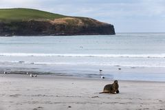 Wild male New Zealand, or Hookers, Sea Lion Phocarctos hookeri in its natural habitat on New Zealand`s Otago Peninsula. Male New Zealand, or Hookers, Sea Lion Royalty Free Stock Photos