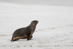 Wild male New Zealand, or Hookers, Sea Lion Phocarctos hookeri on New Zealand`s Otago Peninsula. This is the world`s rarest sea lion species Stock Photography
