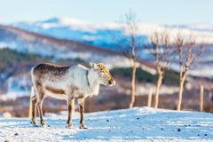 Reindeer in Northern Norway. Wild  male reindeer in Northern Norway with breathtaking fjords scenery on sunny winter day Royalty Free Stock Photos