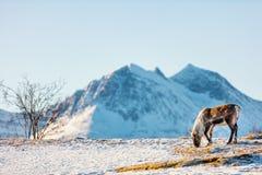 Wild male reindeer. In Northern Norway Royalty Free Stock Image