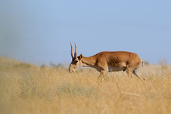Wild male Saiga antelope in Kalmykia steppe. Critically endangered wild Saiga antelope (Saiga tatarica, male) in steppe. Federal nature reserve Mekletinskii Stock Photos