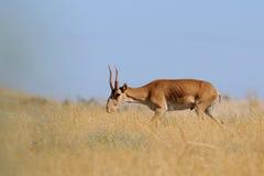 Wild male Saiga antelope in Kalmykia steppe Stock Photos