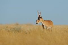 Wild male Saiga antelope in Kalmykia steppe. Wild mail Saiga antelope (Saiga tatarica) in morning steppe. Federal nature reserve Mekletinskii, Kalmykia, Russia Stock Photos