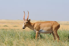 Wild male Saiga antelope in Kalmykia steppe. Wild male Saiga antelope (Saiga tatarica) in morning steppe. Federal nature reserve Mekletinskii, Kalmykia, Russia Stock Photos