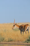 Wild male Saiga antelope near watering in steppe Stock Image