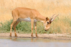 Wild male Saiga antelope near watering in steppe Royalty Free Stock Image