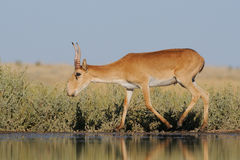 Wild male Saiga antelope near watering in steppe. Critically endangered wild Saiga antelope (Saiga tatarica) near watering in steppe. Federal nature reserve Stock Photography