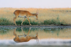 Wild male Saiga antelope near watering in steppe. Critically endangered wild Saiga antelope (Saiga tatarica) near watering in steppe. Federal nature reserve Royalty Free Stock Image