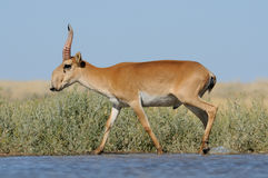Wild male Saiga antelope near watering in steppe. Critically endangered wild Saiga antelope (Saiga tatarica) near watering in steppe. Federal nature reserve Stock Images