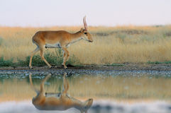 Wild male Saiga antelope near watering in steppe. Critically endangered wild Saiga antelope (Saiga tatarica) near watering in steppe. Federal nature reserve Royalty Free Stock Images
