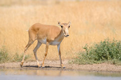 Wild male Saiga antelope near watering in steppe. Critically endangered wild Saiga antelope (Saiga tatarica) near watering in steppe. Federal nature reserve Royalty Free Stock Photo