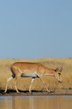 Wild male Saiga antelope near watering in steppe. Critically endangered wild Saiga antelope (Saiga tatarica) near watering in steppe. Federal nature reserve Stock Photo