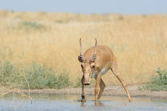 Wild male Saiga antelope at the watering place in the steppe. Wild male Saiga antelope Saiga tatarica at the watering place in the steppe. Federal nature reserve Stock Images
