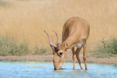 Wild male Saiga antelope at the watering place in the steppe. Wild male Saiga antelope Saiga tatarica at the watering place in the steppe. Federal nature reserve Stock Image