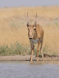 Wild male Saiga antelope at the watering place in the steppe. Wild male Saiga antelope Saiga tatarica at the watering place in the steppe. Federal nature reserve Stock Photos