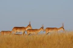 Wild male Saiga antelopes in steppe. Critically endangered wild Saiga antelopes (Saiga tatarica) in steppe. Federal nature reserve Mekletinskii, Kalmykia, Russia Stock Photo