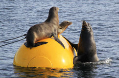 Wild Male Sea Lion Joins Two Females on Buoy. A large male sea lion attempts to leave the water and join two female friends on a buoy in Mission Bay, San Diego Royalty Free Stock Photography