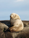 Wild Male Steller Sea Lion Stock Photo