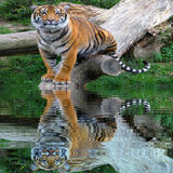 Wild male tiger standing on the tree stem near the water with water reflection Stock Photography