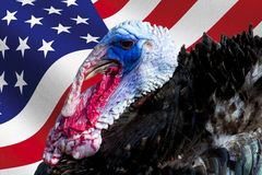 Wild male turkey bird with iridescent skin and american flag used as background for thanksgiving day. Wild male turkey bird with iridescent skin and american royalty free stock photos