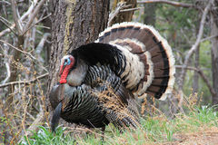 Wild Male Turkey. Gobbler in a natural Arizona wooded habitat Royalty Free Stock Photo