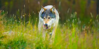 Wild male wolf walking in the grass in the autumn colored forest Royalty Free Stock Photos