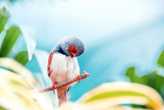 Wild male Zebra Finch (Taeniopygia guttata). Exotic bird sitting. On a branch and cleans its feathers stock photography