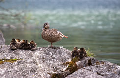 Wild Mallard (Anas platyrhynchos) with ducklings s. Itting on rock near lake Stock Photo