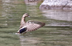 Wild Mallard (Anas platyrhynchos) flapping its win. Gs on the water Royalty Free Stock Image