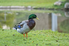 A wild mallard duck Stock Photography