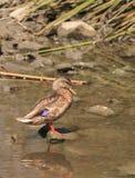 Wild Mallard duck, Anas platyrhynchos. At the edge of a pond Stock Photography