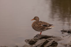 Wild Mallard duck. Anas platyrhynchos, at the edge of a pond Royalty Free Stock Images