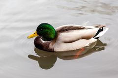 Wild Mallard Duck (Anas platyrhynchos) Swimming on a Lake. Wild Canadian mallard duck (Anas platyrhynchos) in its natural habitat Royalty Free Stock Photo
