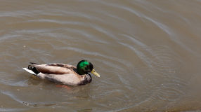 Wild Mallard duck bird, Anas platyrhynchos Stock Photography