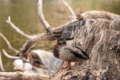 Wild Mallard duck bird, Anas platyrhynchos Stock Photo