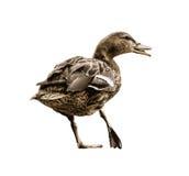 Wild mallard duck with the broken leg, vector graphic Stock Photos