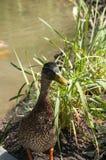Wild mallard duck closeup. Colorful wild mallard duck closeup to park pond Royalty Free Stock Photography