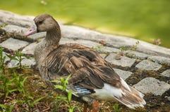 Wild mallard duck closeup. Wild mallard duck on pond stone bank closeup Stock Photography