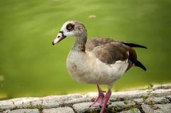 Wild mallard duck closeup. Wild mallard duck on pond stone bank closeup Royalty Free Stock Photo