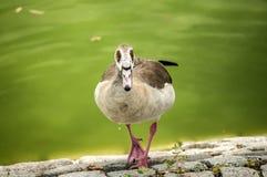 Wild mallard duck closeup. Wild mallard duck on pond stone bank closeup Royalty Free Stock Photography