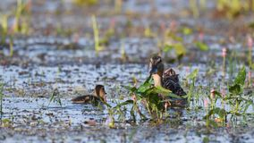 Wild Mallard duck with Ducklings feed in pond, Anas platyrhynchos.  stock footage