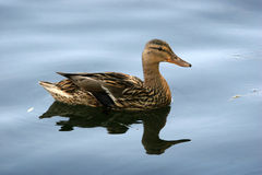 Wild Mallard duck. The female is swimming in the pond Stock Image